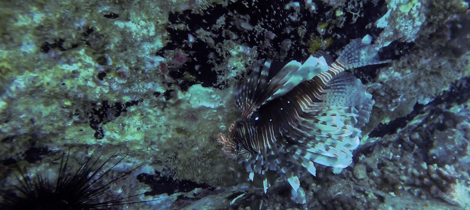 Lionfish on Slemmestad Wreck
