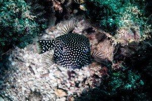 whitespotted boxfish