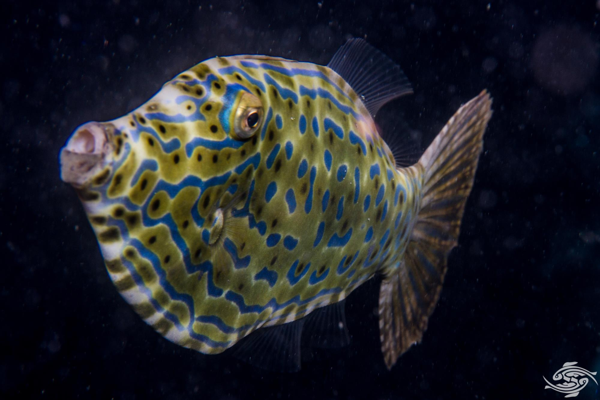Aluterus scriptus, commonly known as scrawled filefish, broomtail filefish