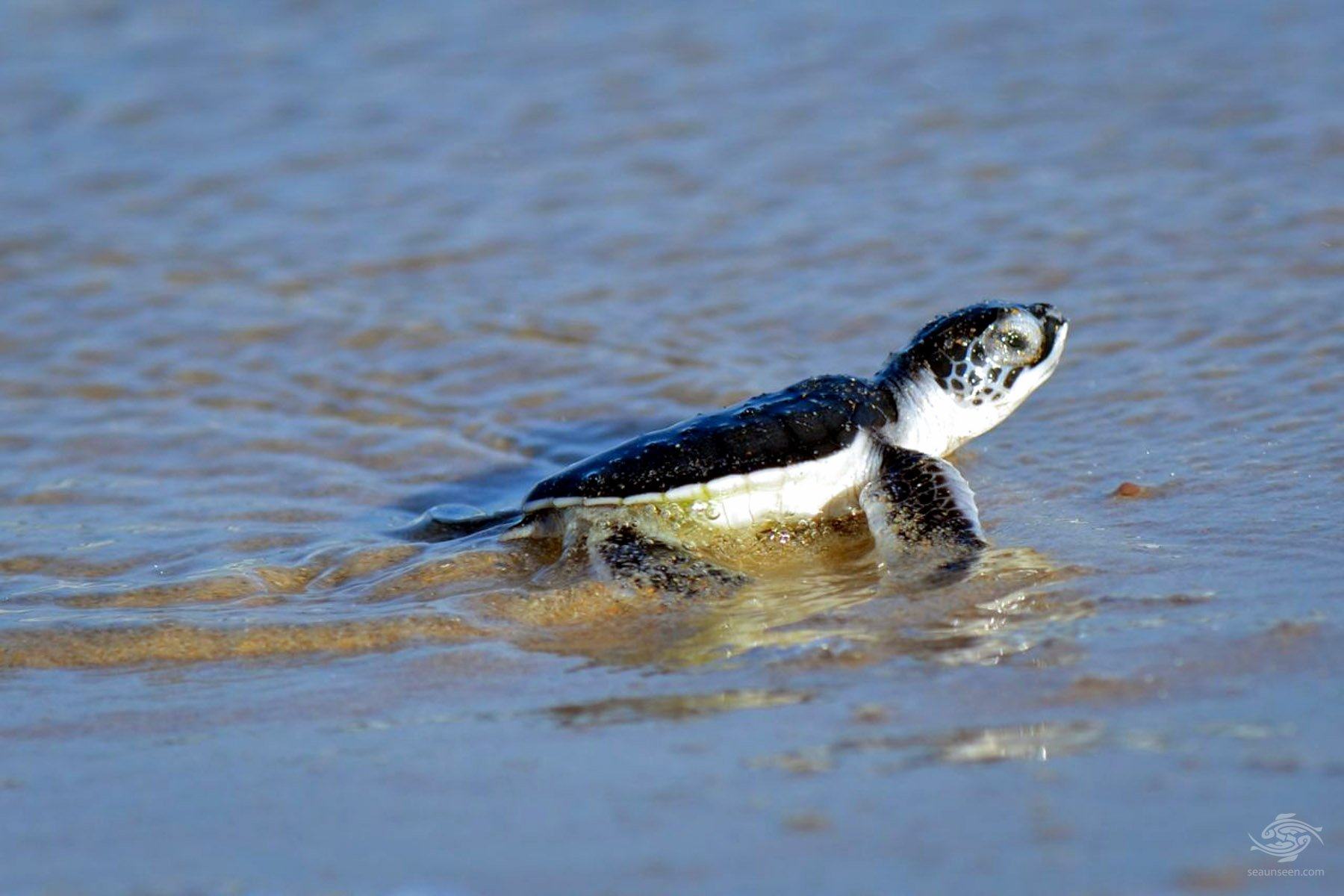 juvenile hawksbill turtle