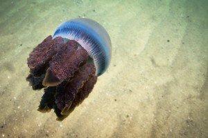 Blue blubber JellyfishCatostylus mosaicus