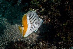Seychelles Butterflyfish Chaetodon madagaskariensis