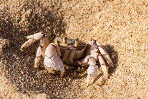 Pink ghost crab Ocypode ryderi