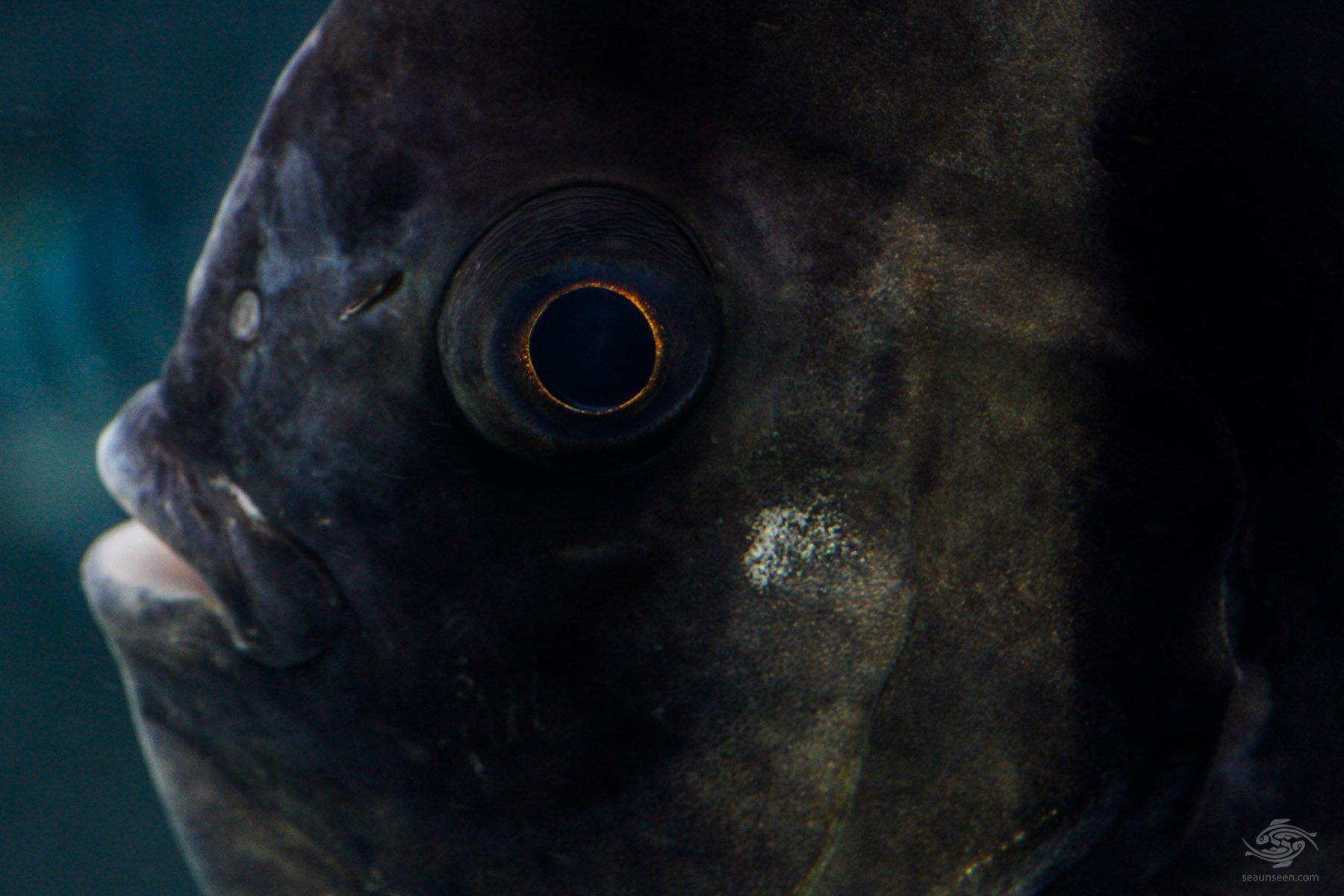 The eye of a Longfin Batfish Platex teira