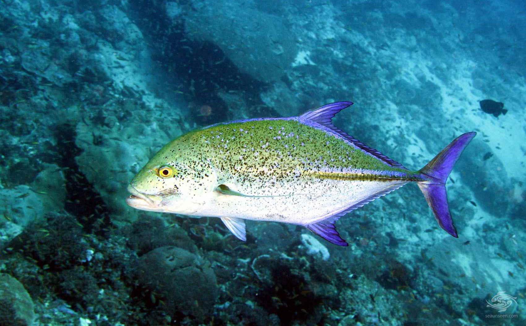 Bluefin trevally facts and photographs seaunseen for 13 fishing freefall