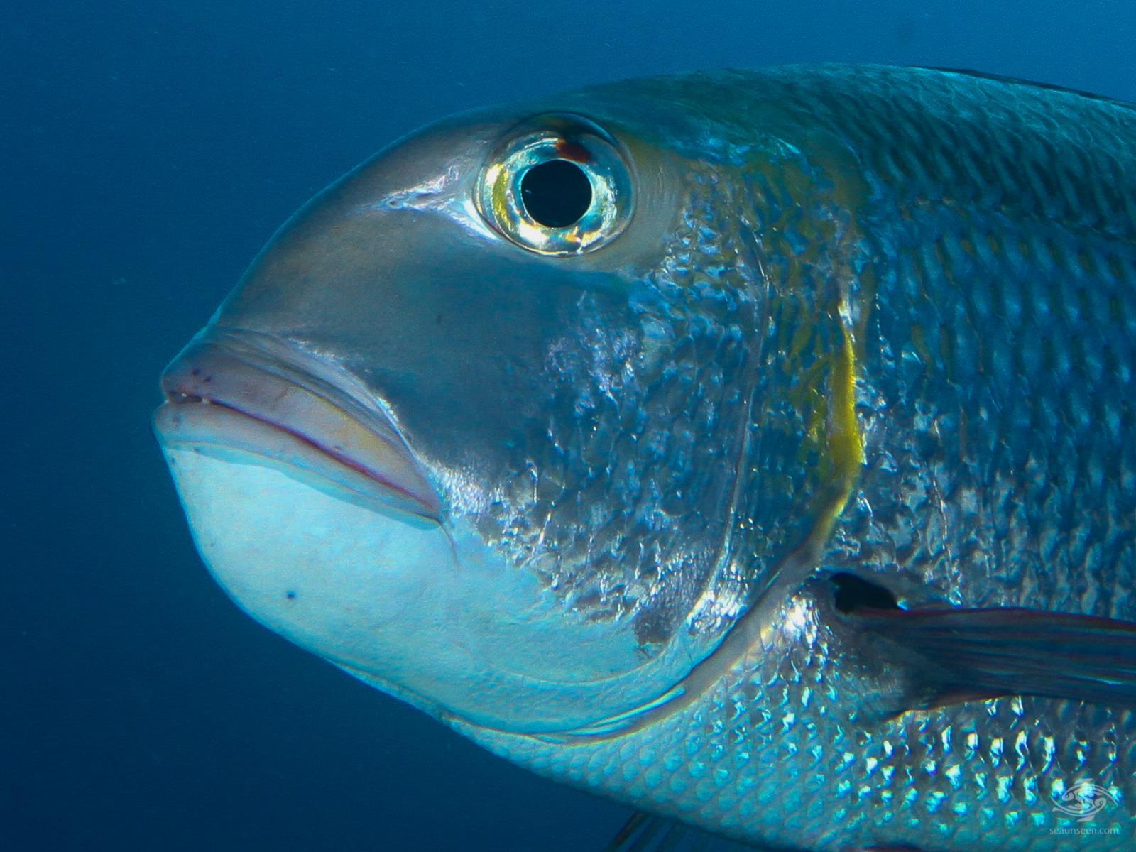 Big eyed bream Kinasi Pass - Mafia Island, Tanzania dive sites