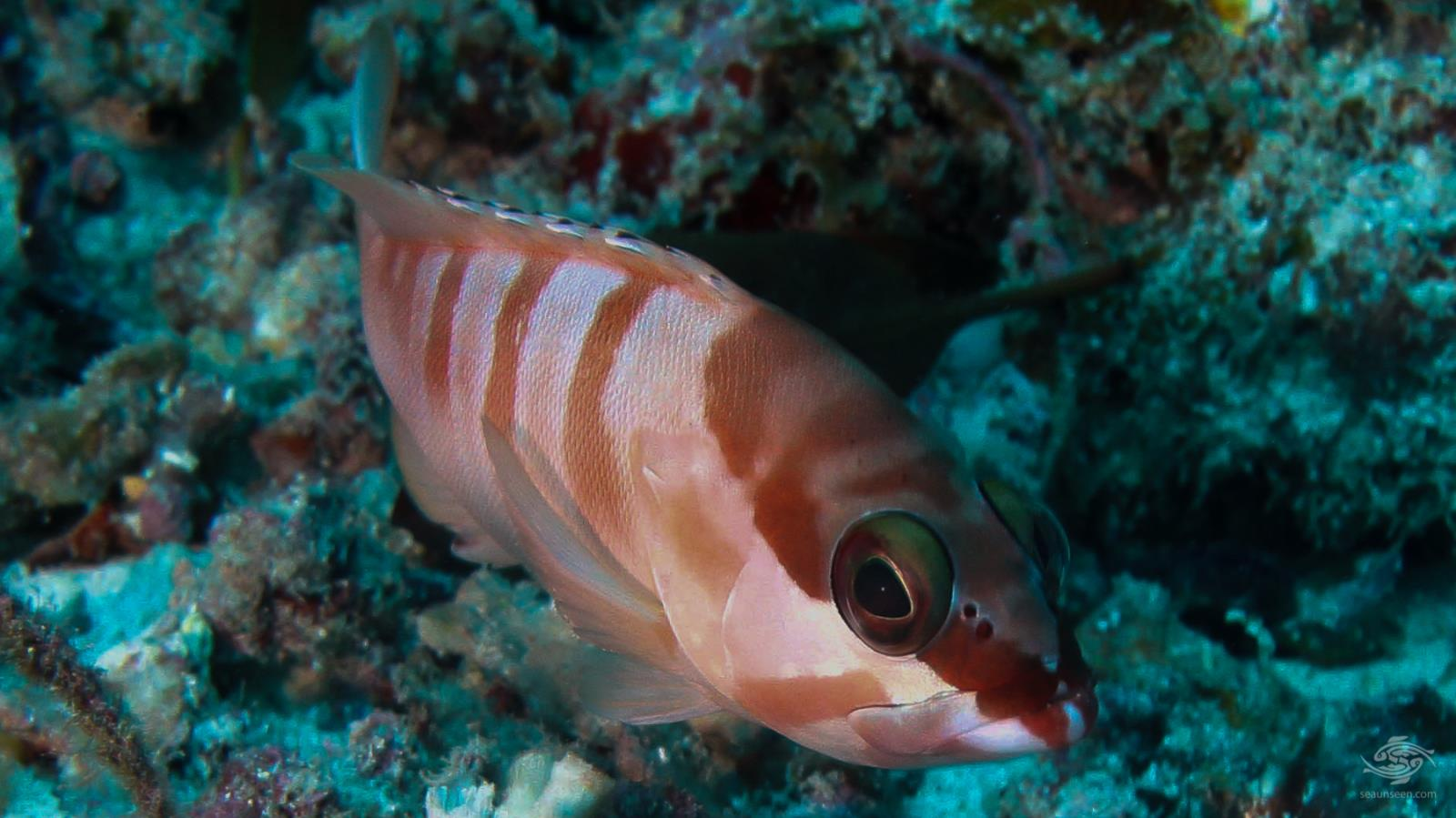 Red barred rock cod Kinasi Pass - Mafia Island, Tanzania dive sites