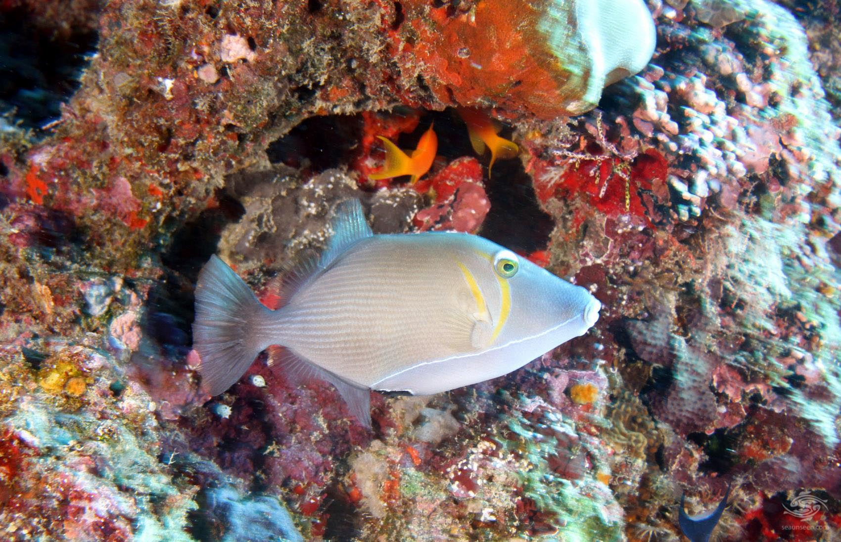 A trigger fish off Dindini wall-Mafia Island dive sites