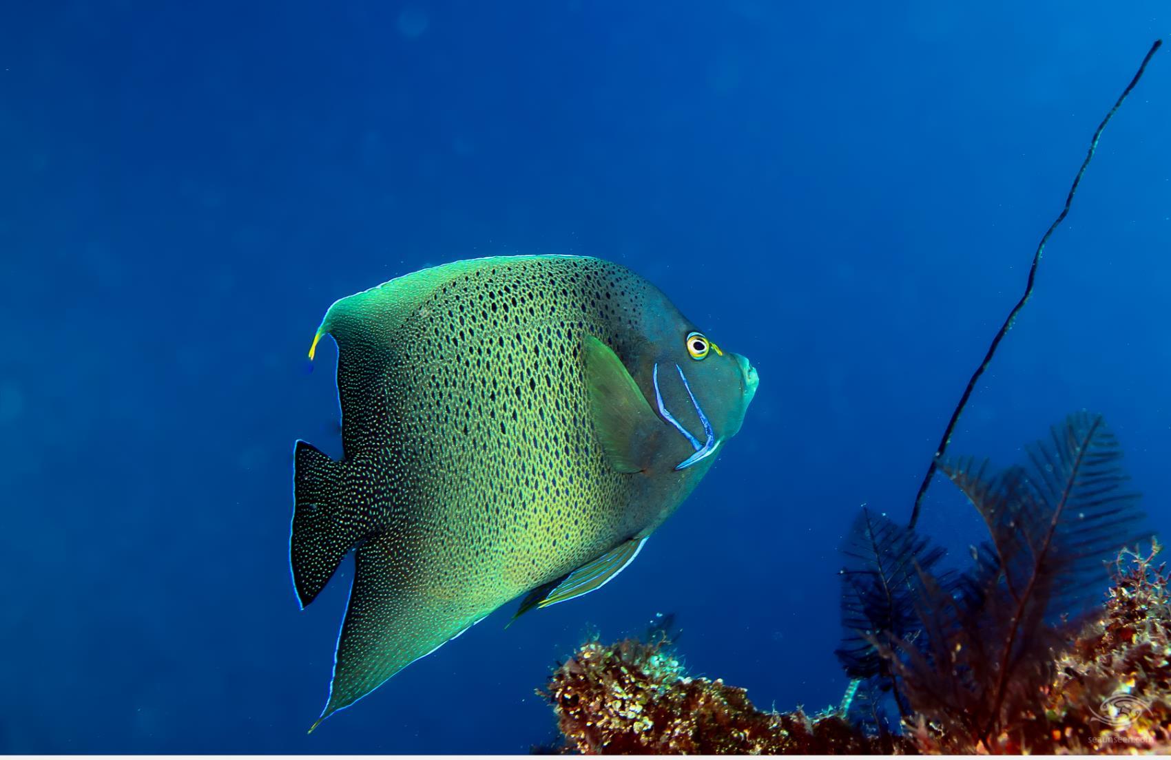 Angel fish Dindini caves mafia island tanzania dive sites