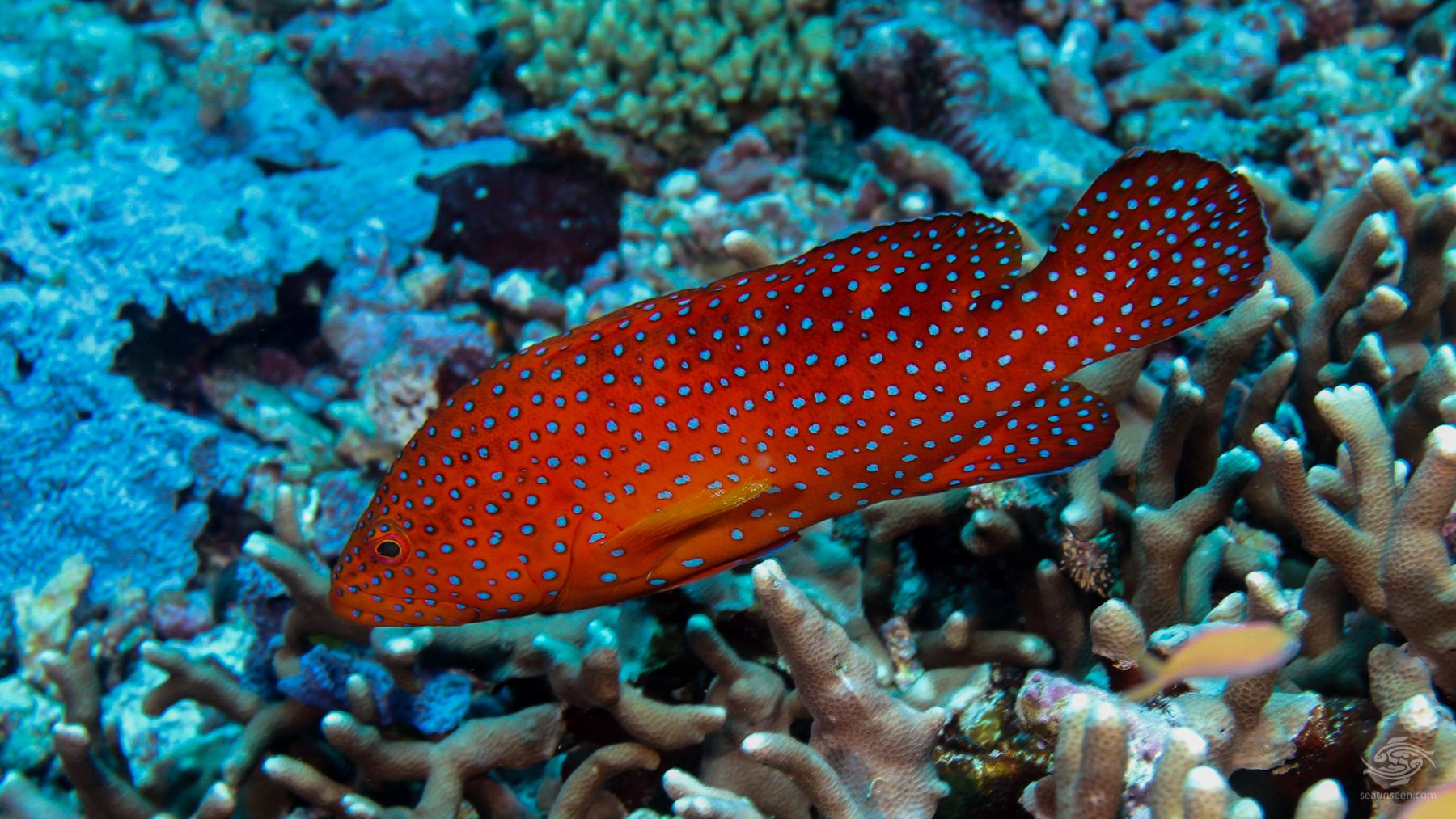 Coral rock cod Mikadini reef outer in Mafia Island Tanzania dive sites