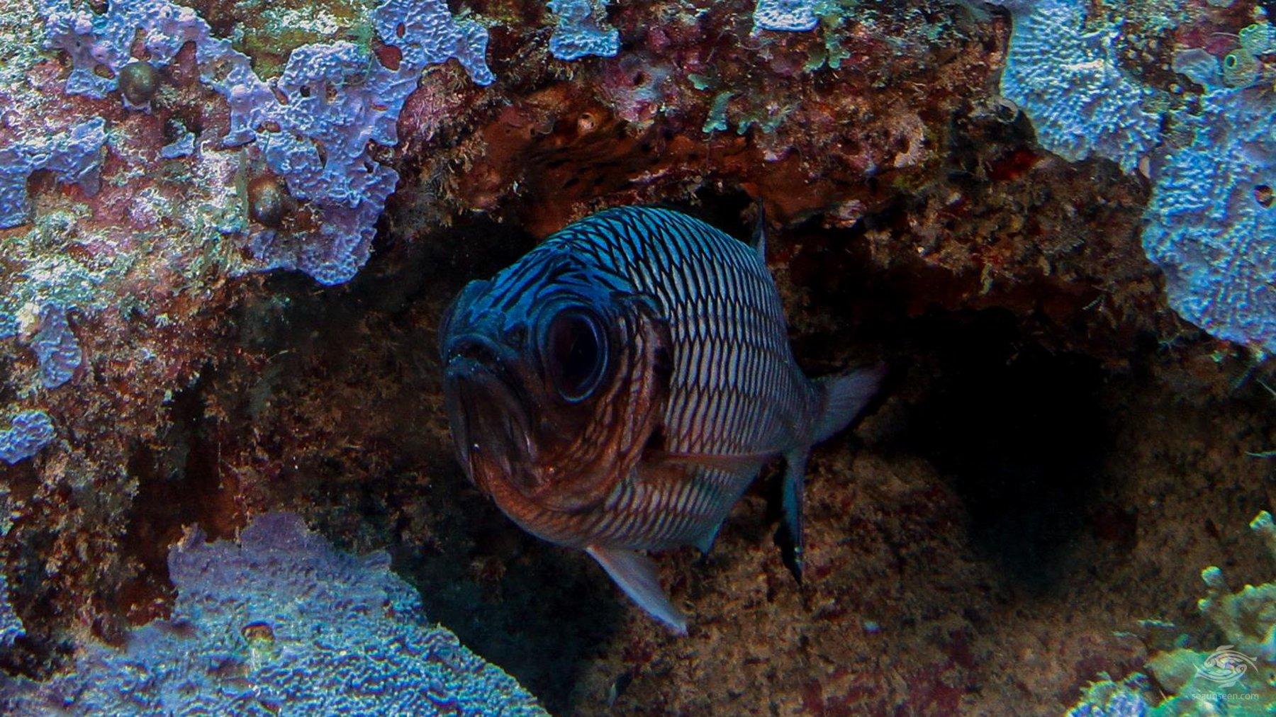 Soldier fish Mikadini reef Mafia Island Tanzania dive sites