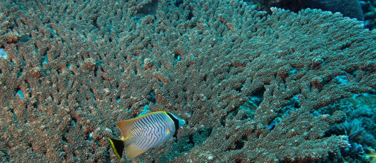 A chevroned butterflyfish, Chaetodon trifascialis