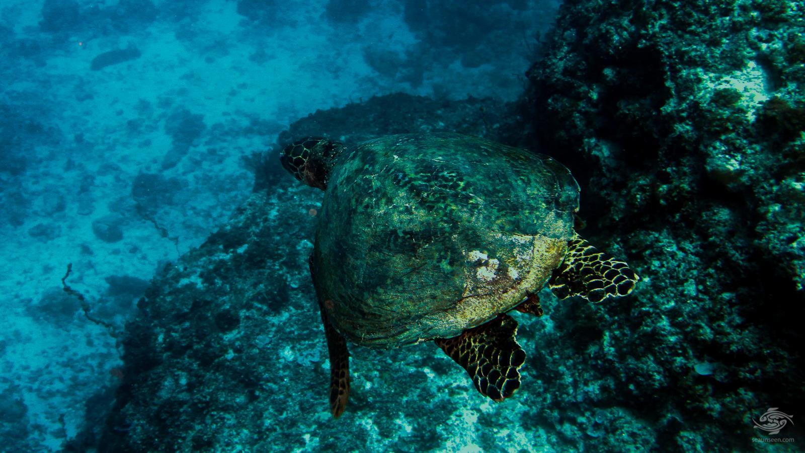 Green Turtle Dindini caves mafia island tanzania dive sites