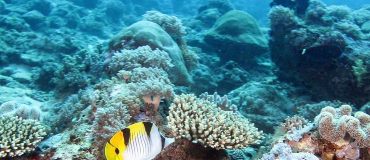 A saddleback butterflyfish, Chaetedon falcula