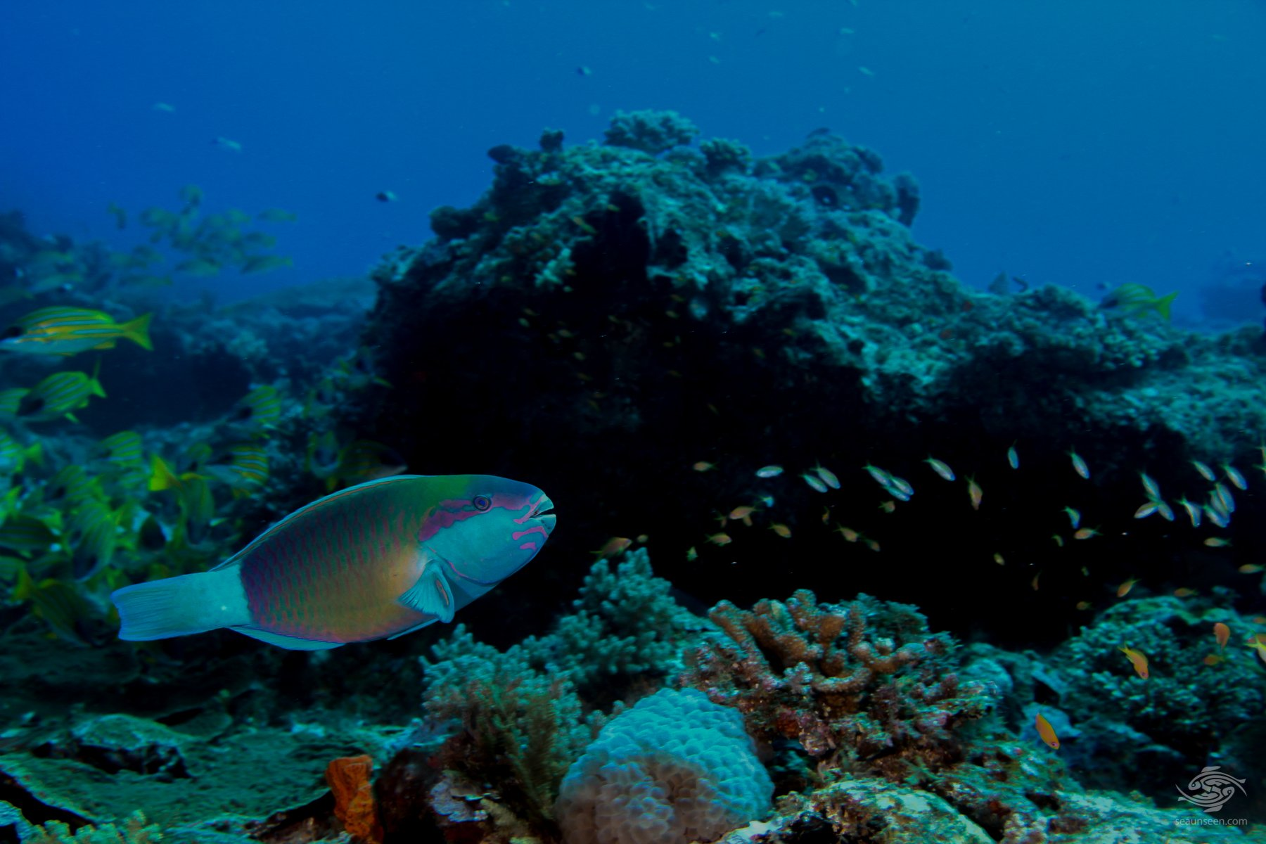 Bridled parrot fish Mikadini reef outer Mafia Island Tanzania dive sites
