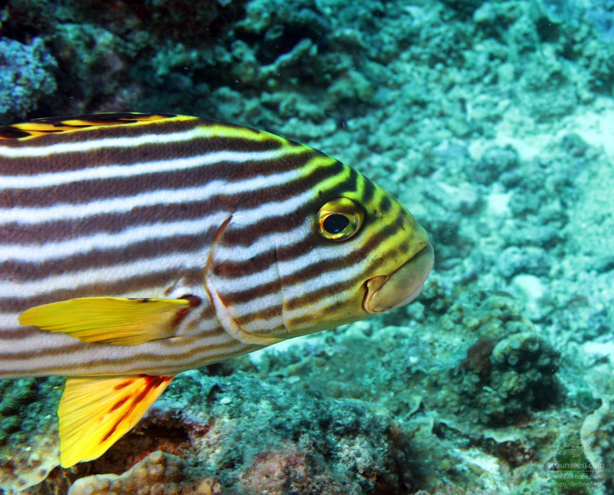 A large Oriental Sweetlip in Mafia Island Marine Park diving tanzania
