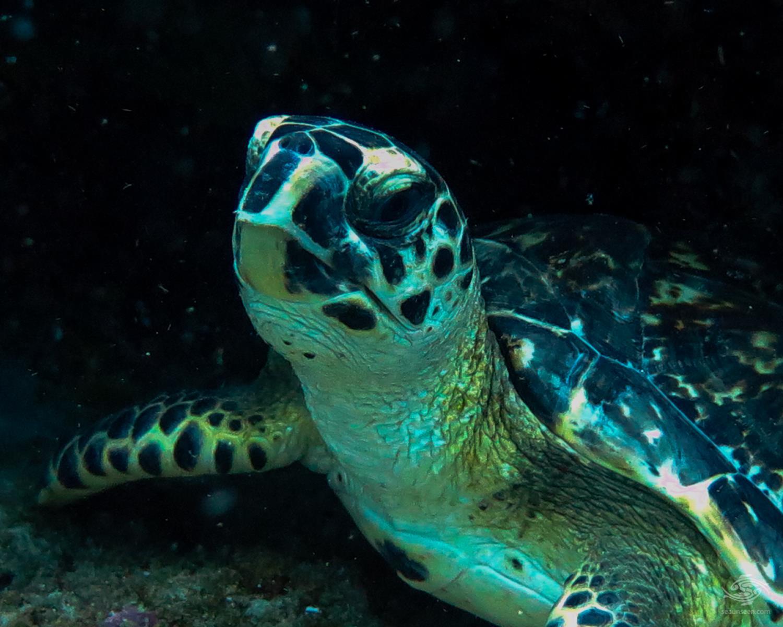 Green turtle Lauras Garden Dar es Salaam Tanzania Dive sites