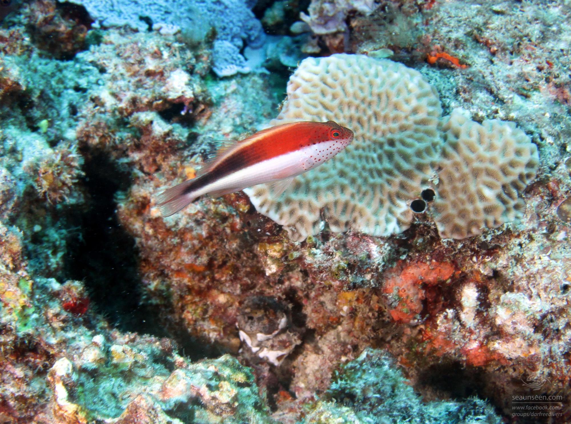 speckled hawkfish Mikadini reef Mafia Island Tanzania dive sites
