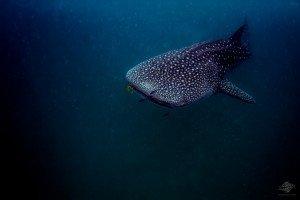IMG_1133-whale-shark-swm