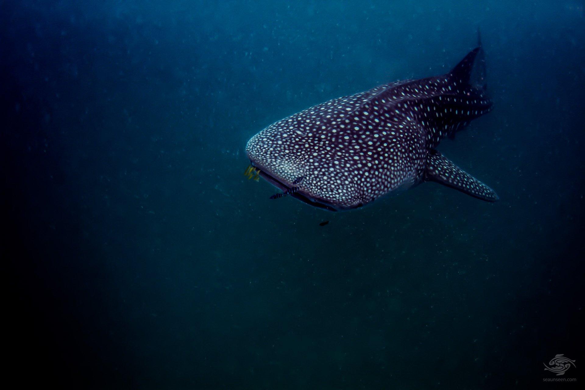 Whale shark off Mafia Island diving Tanzania