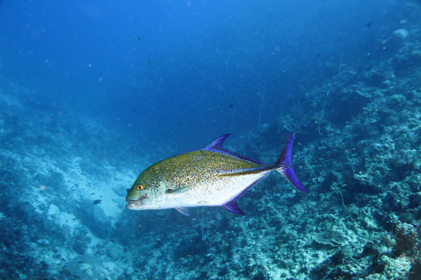Bluefin trevally Caranx melampygus off mafia island
