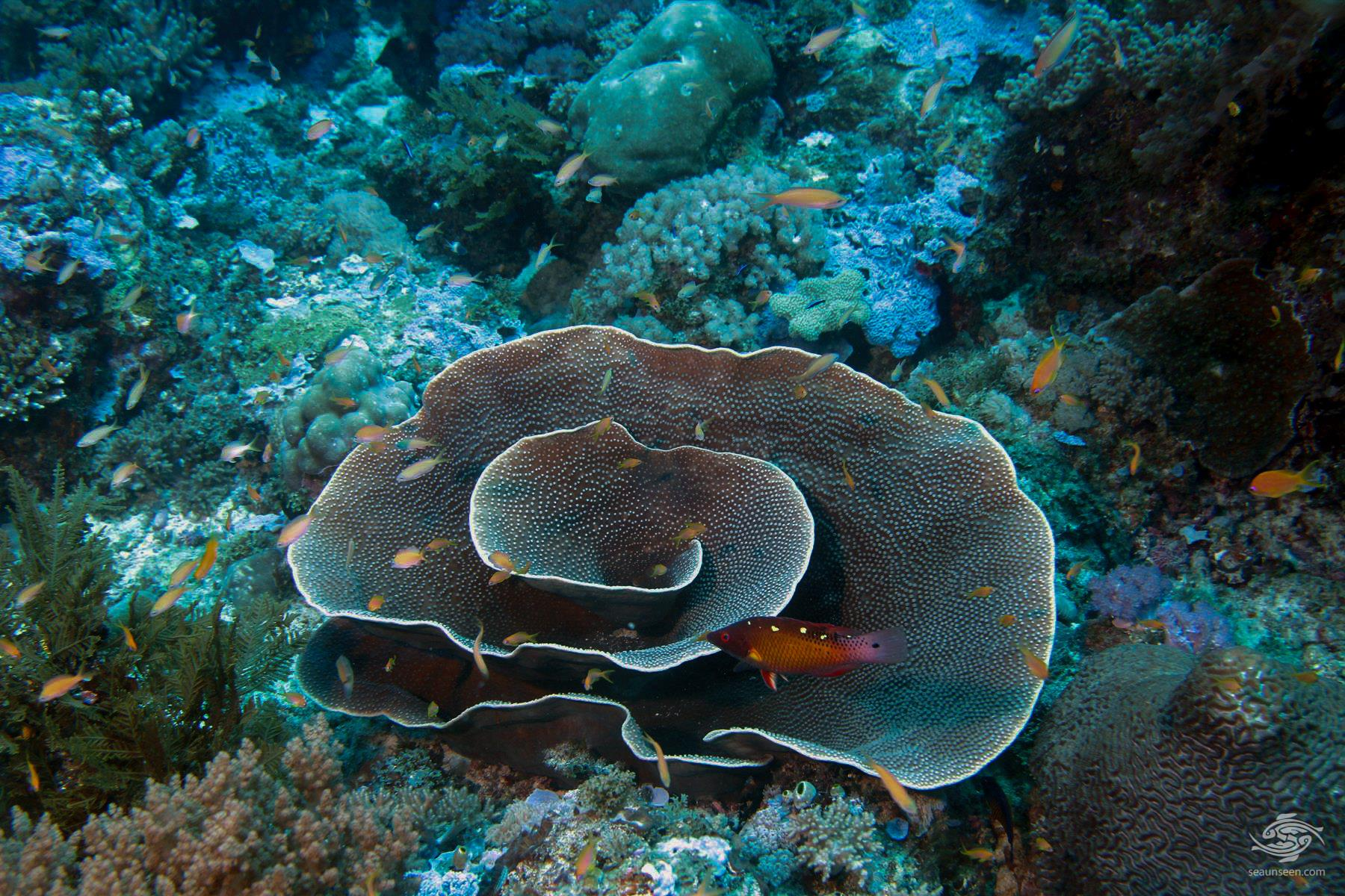 Turbinate coral in the Mafia Marine Park with a Diana's Hogfish diving Tanzania