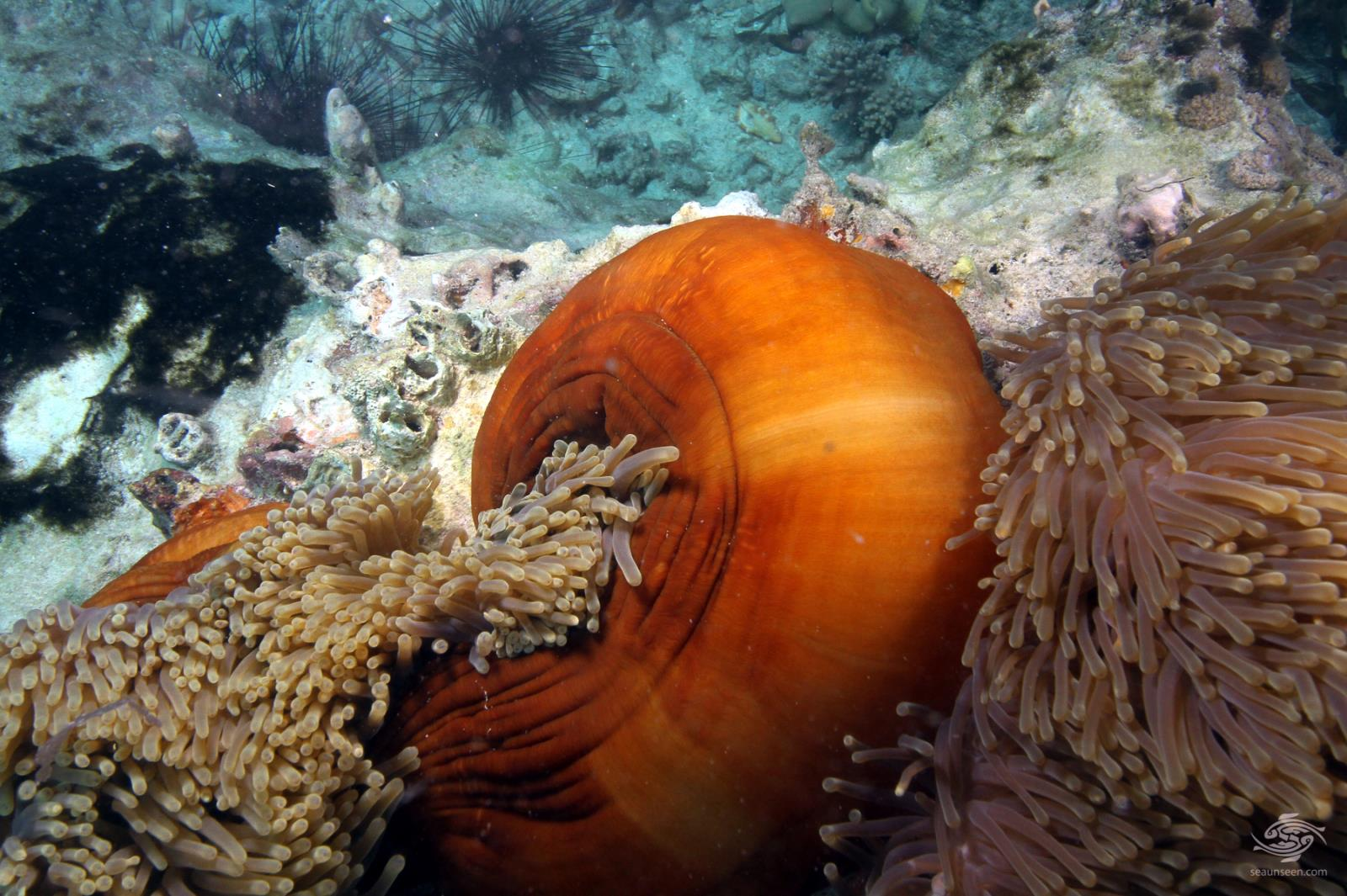 magnificent anemone, Heteractis magnifica Tanzania diving9