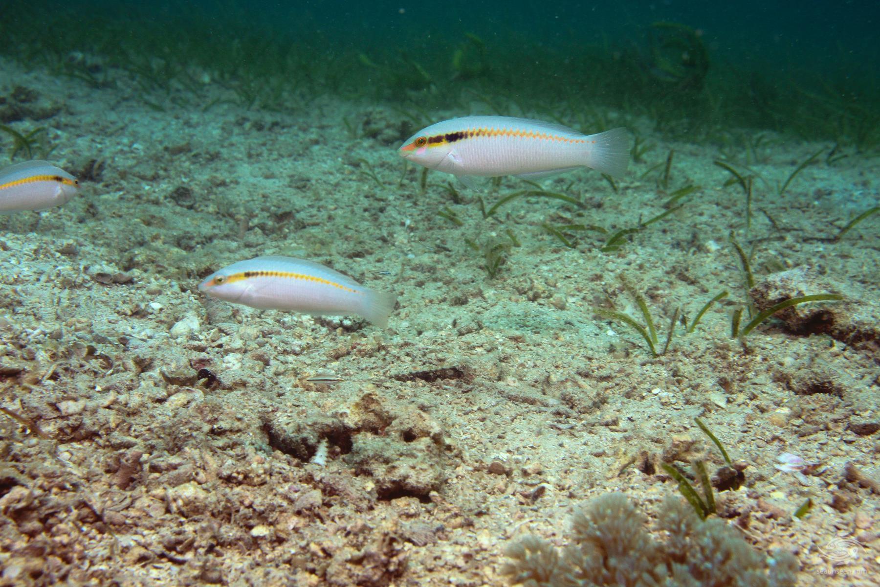 Zig Zag wrasse Halichoeres Scapularis taken at Paje in Zanzibar freediving