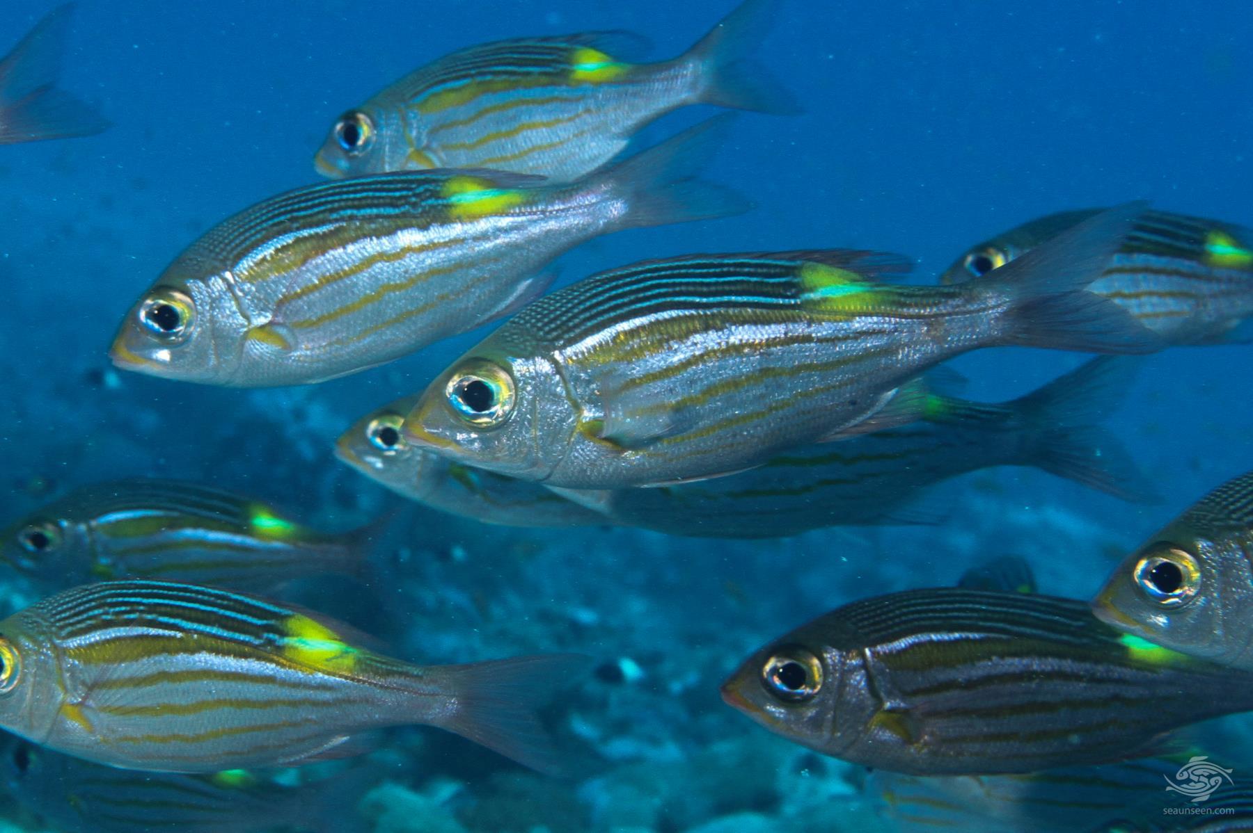 Shoal of Glowfish Gnathodentex aureolineatus on Mafia island tanzania