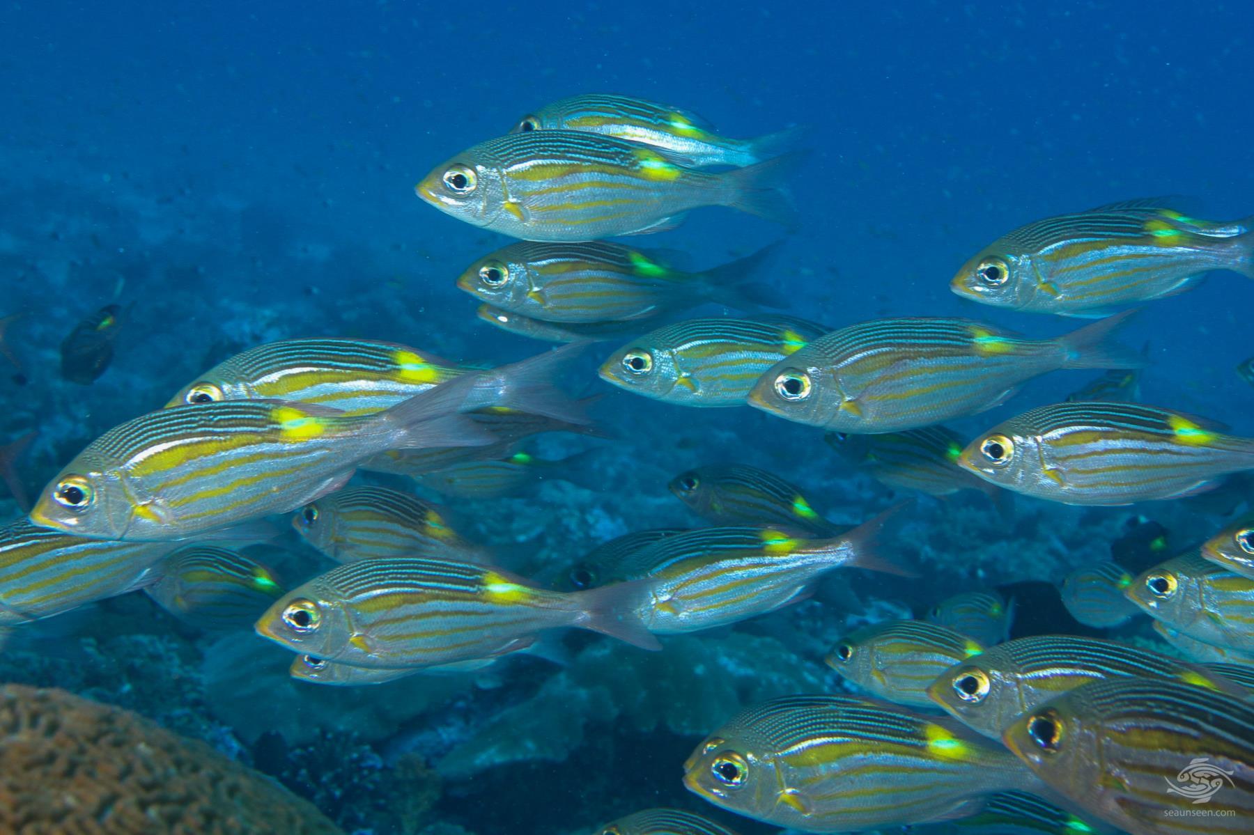 Glowfish Gnathodentex aureolineatus on mafia island tanzania