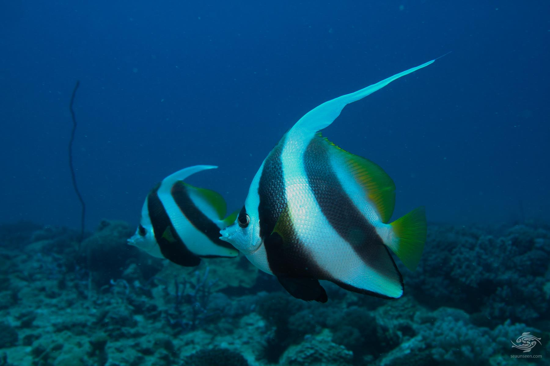 Longfin A pair of longfin bannerfish Heniochus acuminatus on Kankadya reef Tanzania