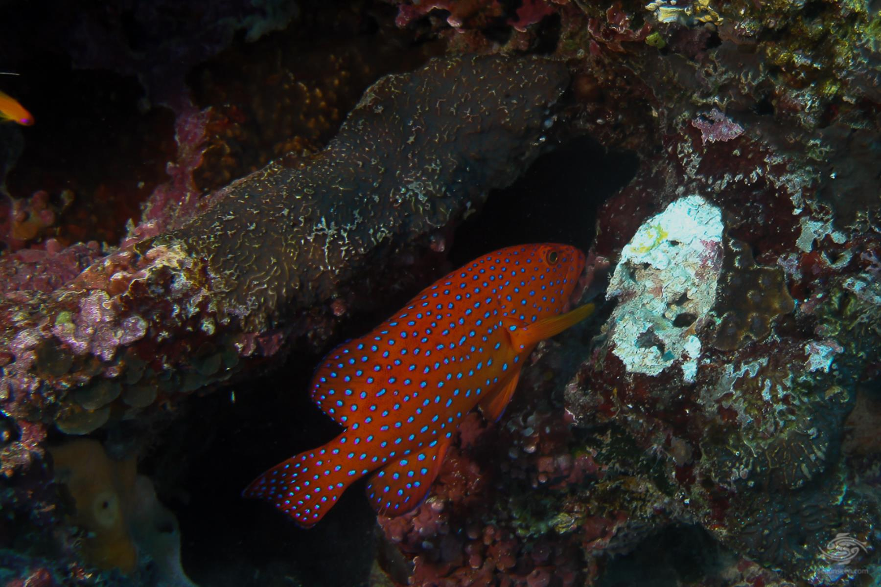 Coral rock cod Cephalopholis miniata in Mafia island Marine park