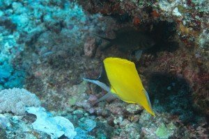 YellowLong nose butterfly fish Forcipeger flavissimus
