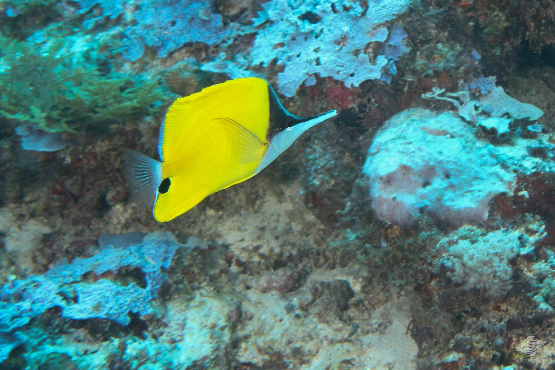 Yellow long nose butterfly fish Forcipeger flavissimus