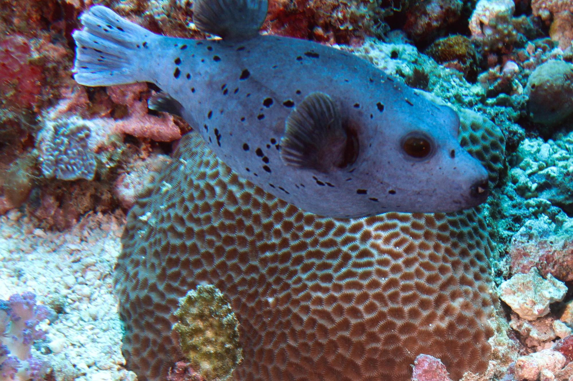 Black spotted pufferfish