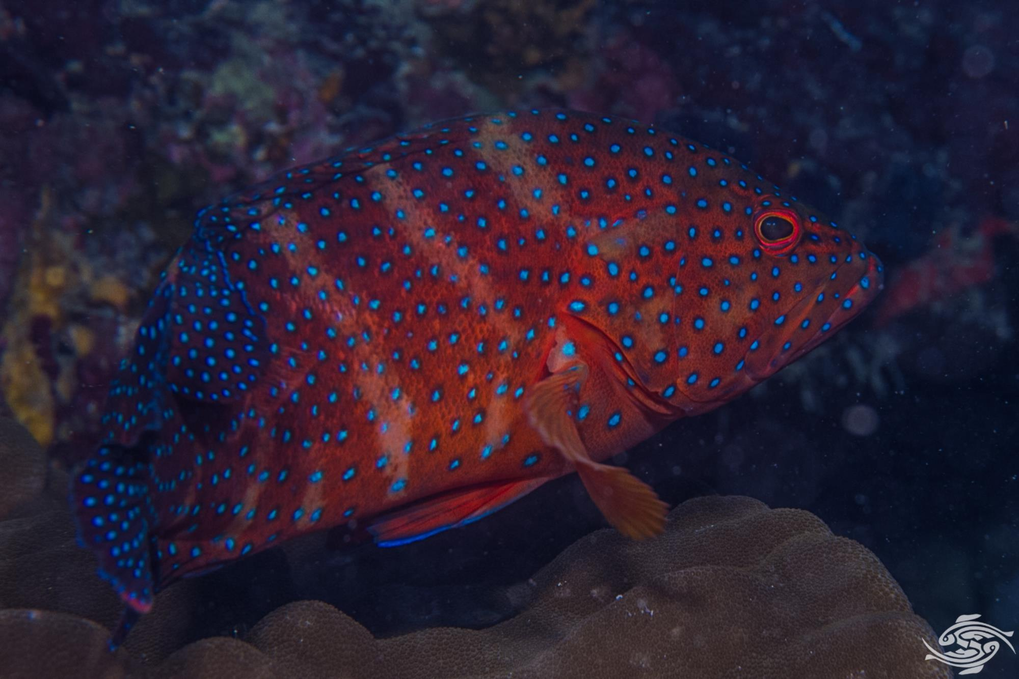 coral rock cod, Cephalopholis miniata, is also known as the coral hind, miniatus grouper, miniata grouper, vermilion seabass, and coral grouper