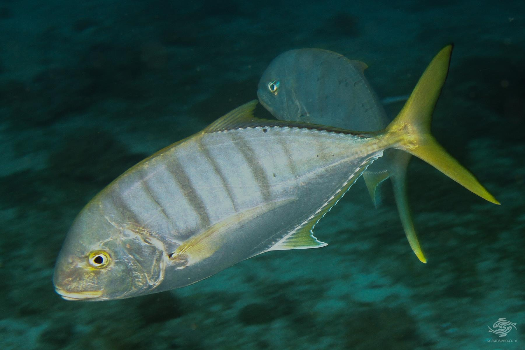 golden trevally Gnathanodon speciosus