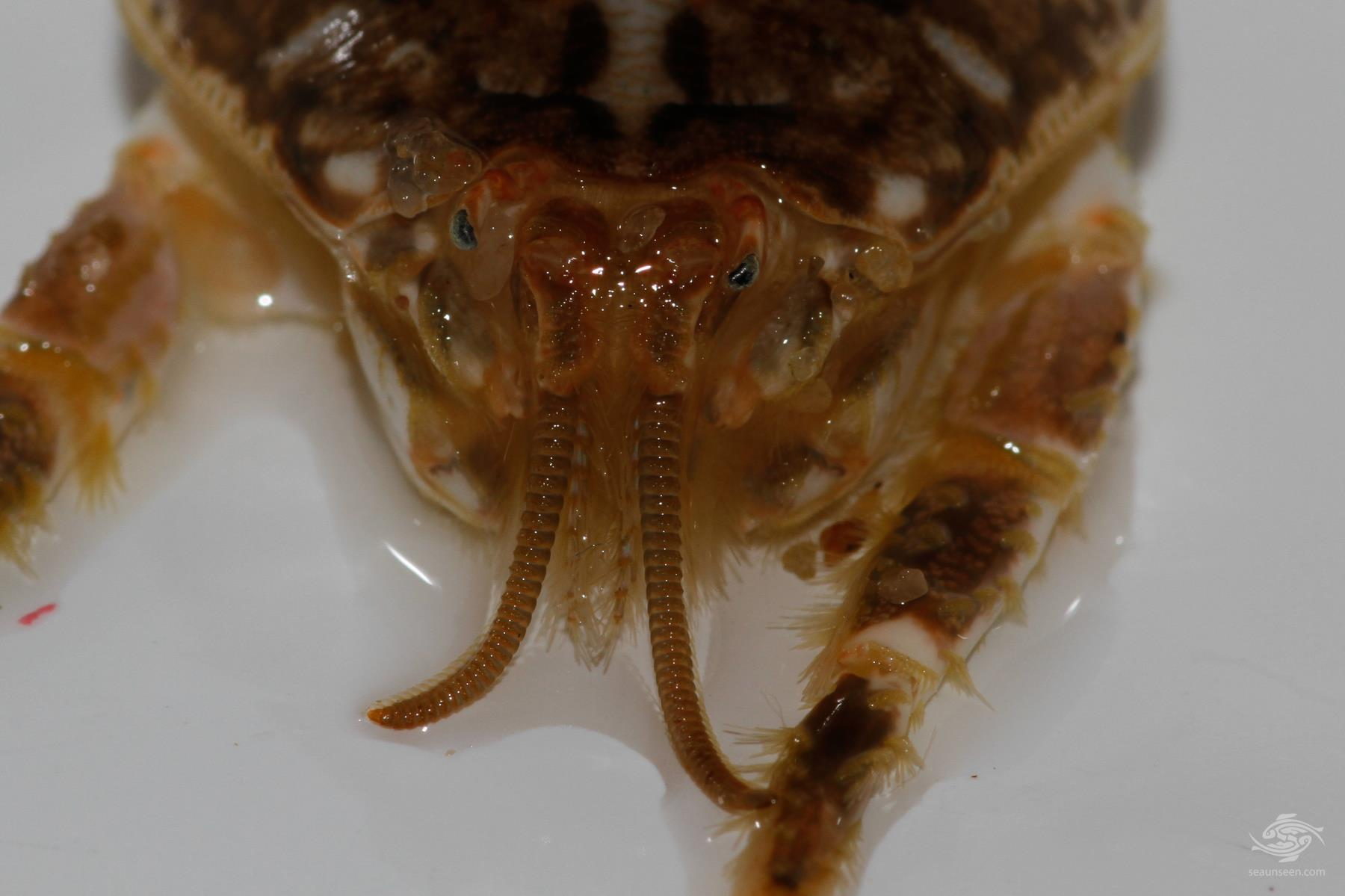 Mole Crabs- Sea Lice-Genus Emerita