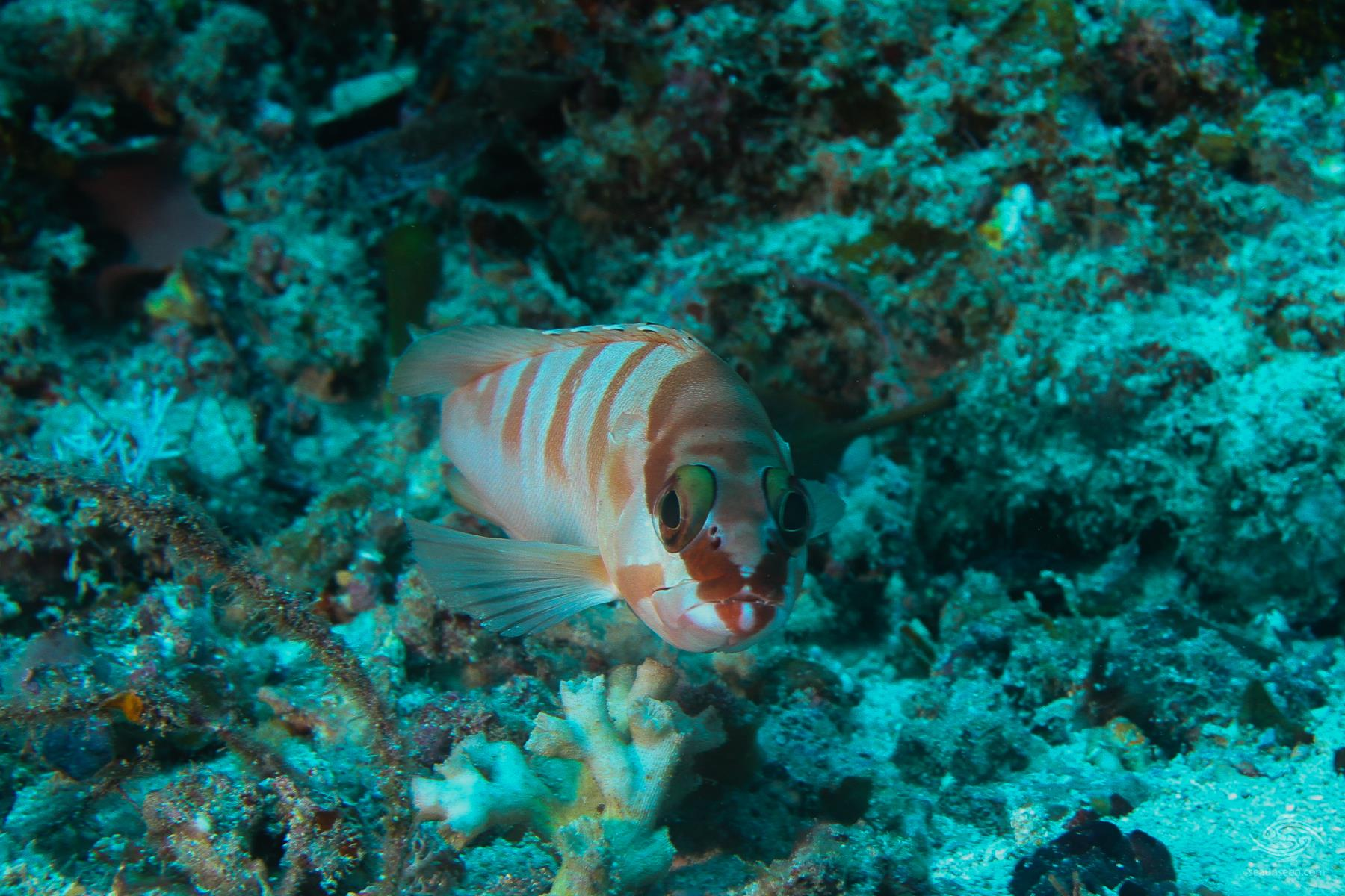 Red Barred Rock Cod Epinephelus fasciatus on Mafia Island