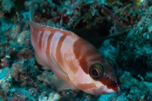 Red Barred Rock Cod Epinephelus fasciatus