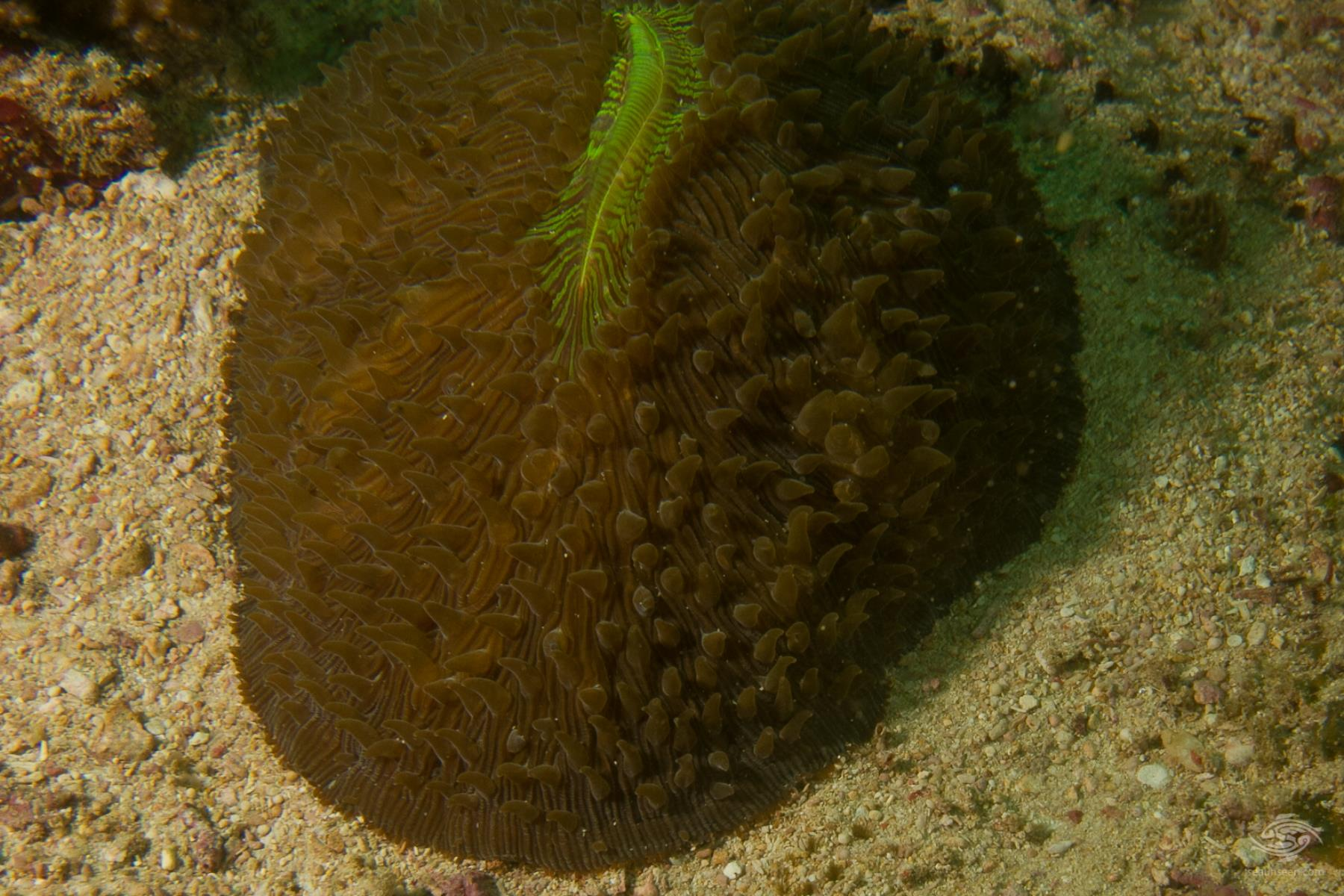 Slipper coral Herpolitha limax (11)