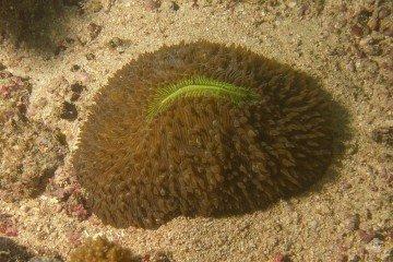 Slipper coral Herpolitha limax