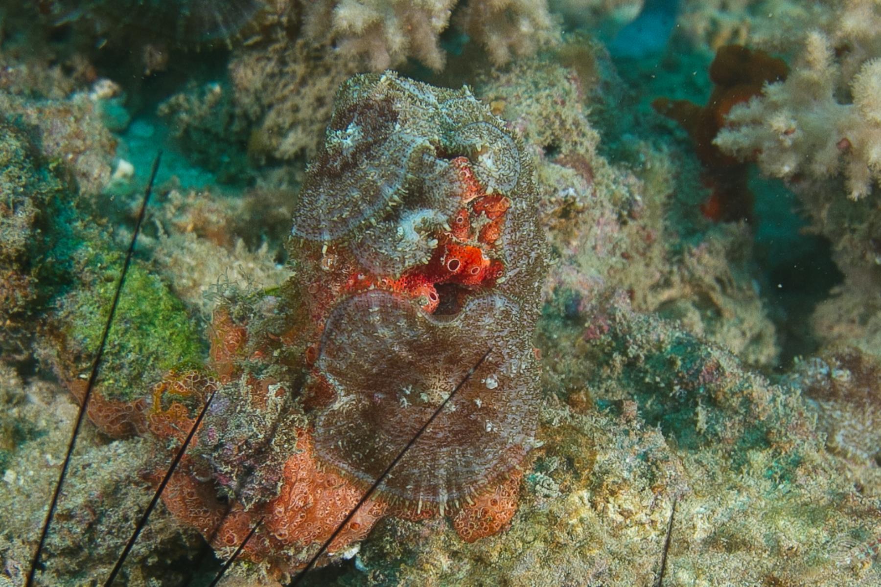 Slipper coral Herpolitha limax acanthocauli