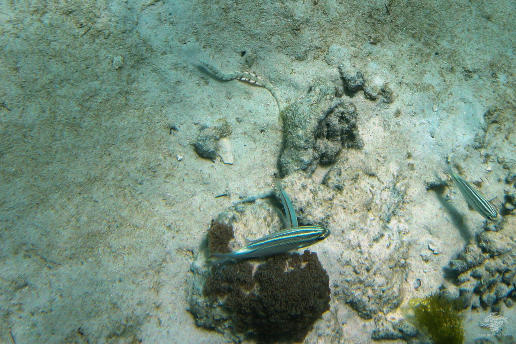 Zigzag wrasse Halichoeres Scapularis wrasse cleaning an Arabian spinecheeks Scolopsis ghanam. on Pemba island