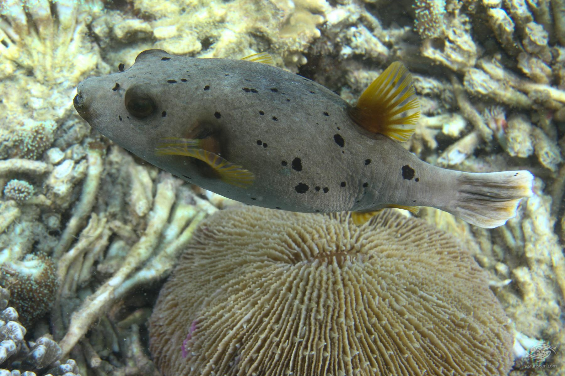 Black spotted pufferfish facts video and photographs for Puffer fish diet
