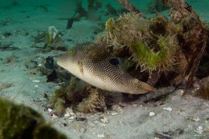 False eye toby Canthigaster solandri