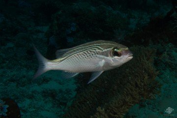 Arabian Monocle Bream. Scolopsis ghanam