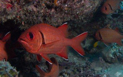 blotcheye soldierfish (Myripristis berndti)