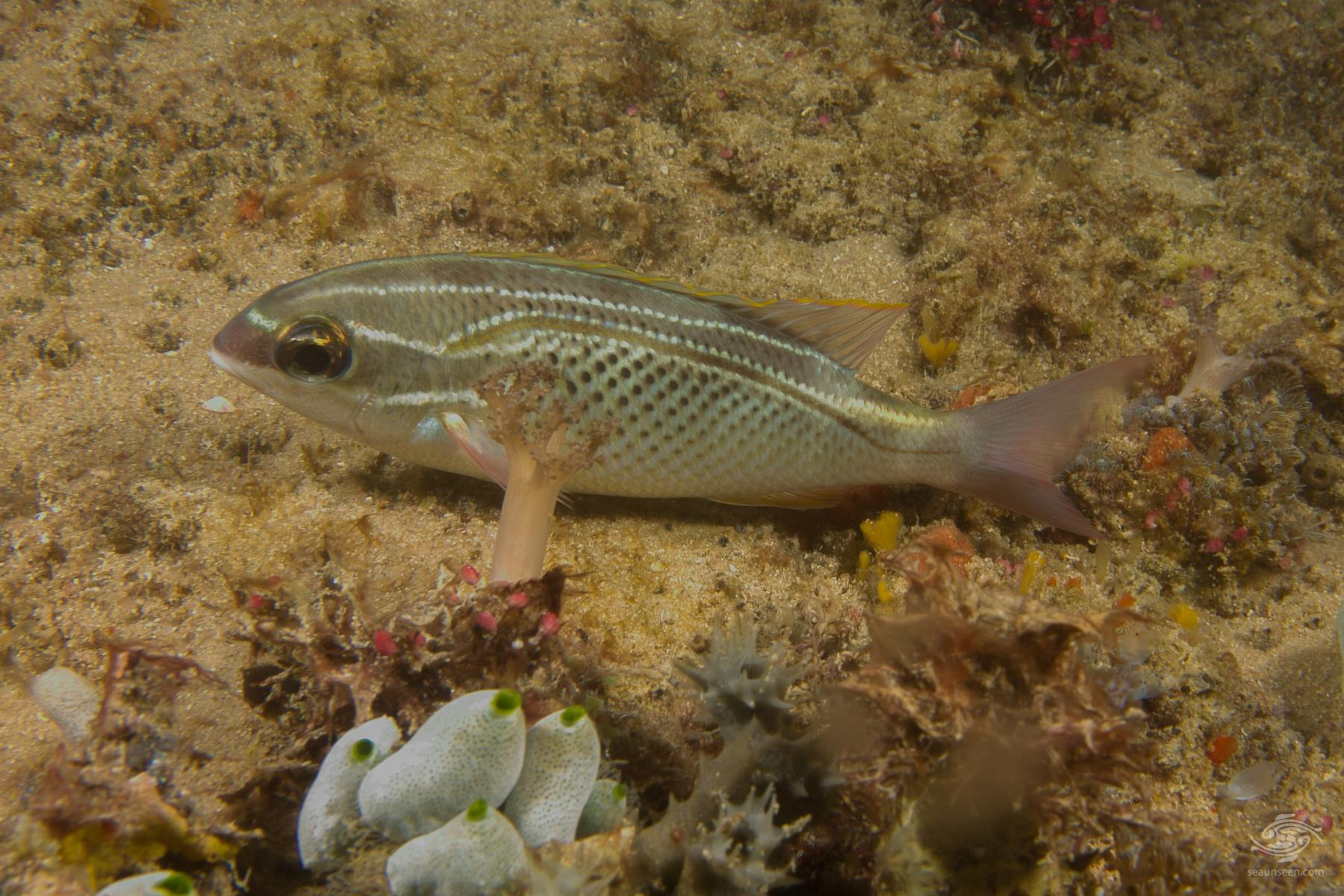 arabian monocle bream, Scolopsis ghanam