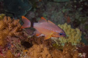 Flower Cardinalfish Apogon fleurieu